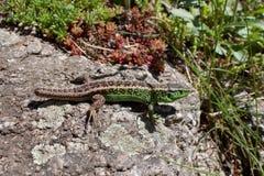 Lizard (lacerta agilis) on a rock basking in the sun Royalty Free Stock Photos