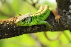 Lizard - lacerta agilis Stock Images