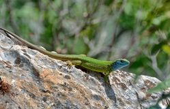 Lizard Lacerta Viridis Royalty Free Stock Photography