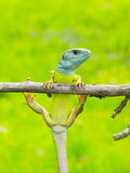 Lizard Lacerta viridis. (European Green Lizard Stock Photography