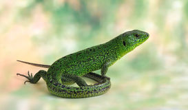 Lizard Lacerta viridis (European Green Lizard). On the green background Royalty Free Stock Photography