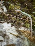 The lizard Lacerta viridis sits on a stone with moss royalty free stock photography