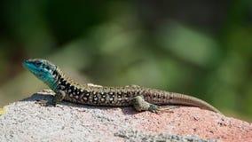 Lizard Lacerta viridis stock image