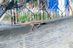 Lizard Lacerta viridis on a wooden board Royalty Free Stock Image