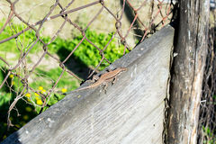 Lizard Lacerta viridis on a wooden board Stock Images