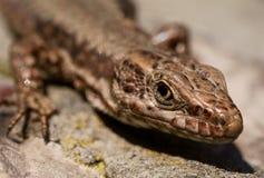 Lizard(lacerta vivipara)macro on a rock Stock Photos