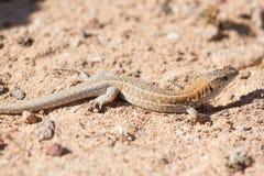 Lizard Lagarto ocelado stock image