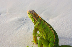 Lizard. A large green lizard on the sand Royalty Free Stock Photos