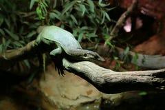 Lizard lazing around Stock Photos