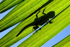 Lizard on Leaf. Lizard shilouette on Palm Leaf stock images