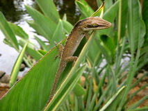 Lizard & Leaf stock photography