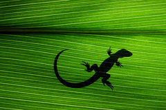 Lizard on Leaf. Giant tropical leaf with small lizard shadow stock image