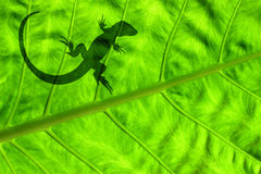 Lizard on Leaf. Giant tropical leaf with small lizard shadow Royalty Free Stock Photos