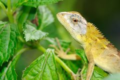 Lizard on Leaf Royalty Free Stock Photo