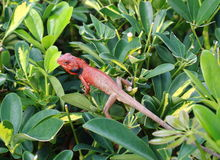 Lizard among leaf Stock Image