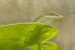 Lizard on a leaf Royalty Free Stock Photo