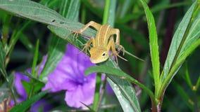 Lizard on the leaf. Chameleon garden or chameleon blue head or chameleon blue head English: Oriental garden lizard, Eastern garden lizard, Changeable lizard stock image