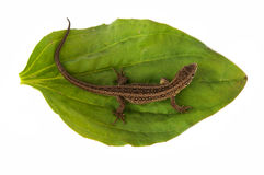 Lizard on a leaf Royalty Free Stock Photography