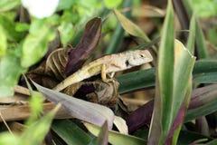 Lizard on a leaf. Stock Photo