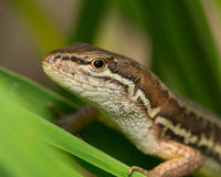 Lizard on a leaf Stock Images