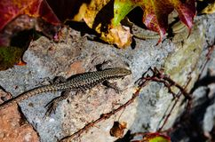 Lizard with LEafs royalty free stock image