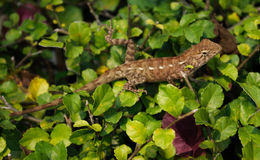 Lizard on the leaves of the bush Stock Photos
