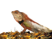 Lizard on leaves Royalty Free Stock Photography