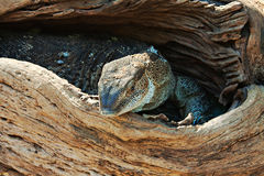 Lizard legavaan Stock Image