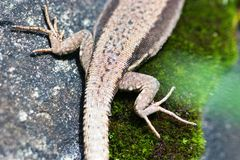 Lizard legs. Gecko legs and tail Royalty Free Stock Image