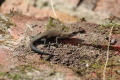 A lizard. The Leningrad Region. Royalty Free Stock Photography