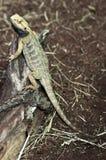 Lizard. Little lizard is sitting on the stick Stock Image