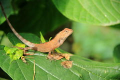 Lizard On A Lives. A close up photo of a lizard with brown skin stock images