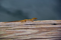 The lizard royalty free stock photography