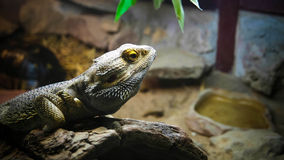 Lizard. S nature reptiles animal Royalty Free Stock Photography