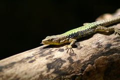 Lizard on a log Stock Image