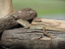 Lizard On Log Stock Photo