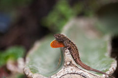 Lizard on a cactus Stock Photos