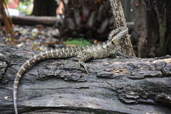 Lizard on log Royalty Free Stock Photo