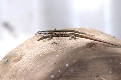 Lizard on a log Royalty Free Stock Photo