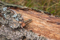 Lizard on the log which has grown with a moss. Removed close up Stock Images