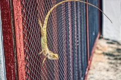 Lizard with a long curved tail at the garden gate. This unique photo shows a small Thai reptile hanging on a garden gate with curved long tail. the photo was stock image