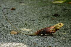 Lizard with long tail sitting on the ground. At the tropical island Stock Image