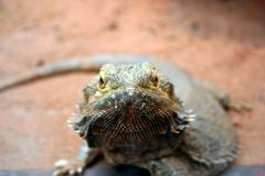 Lizard Looking. A lizard looking straight at you Stock Image