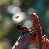 Lizard looking the bee Stock Images