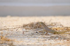 Lizard looking dangerous Royalty Free Stock Image