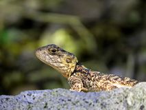 Portrait of lizard. Lizard looking from his profile on the stone in an ancient city royalty free stock photography
