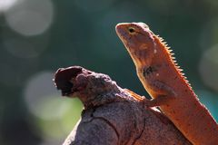 Lizard looking for someting Royalty Free Stock Photography