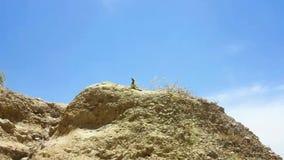Lizard sun bath. Lizard looking and taking a sun bath on rock while a bird is flying stock video