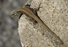 Lizard looking  on the wall Royalty Free Stock Photos