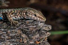 Lizard looking at you macro Stock Photos